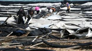 영주  1-1 영주시는 지난 9~10일 내린 눈으로 83농가에서 38ha 정도 피해를 본것으로 신고 접수됐다(순흥면 지동리 피해농가 ~.jpeg