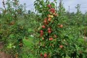 상주시농업기술센터, 국내 육성 사과 「루비에스」 첫 출하