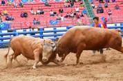 황소들의 불꽃 튀는 대격돌! '2019 청도소싸움축제' 폐막