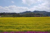 예천군, 회룡포 유채꽃 물결로 관광객 몰려 농가소득도 올려!