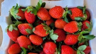 고령군 쌍림면, 딸기 첫 수확