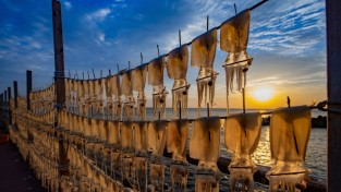 영덕군, 오징어 풍년 ··· 어획량 늘어, 가격도 안정세